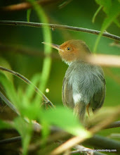 Photo: Red-headed Tailorbird, Usukan Bay