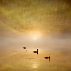 Floating with the Tide by Adrian Campfield - Landscapes Sunsets & Sunrises ( wildlife, reflections, yellow, birds, swimming, sky, nature, tide, weather, gold, light, misty, water, clouds, orange, patterns, rivers, foggy, dawn, red, mute swans, amber, silhouettes, sark, sunrise )