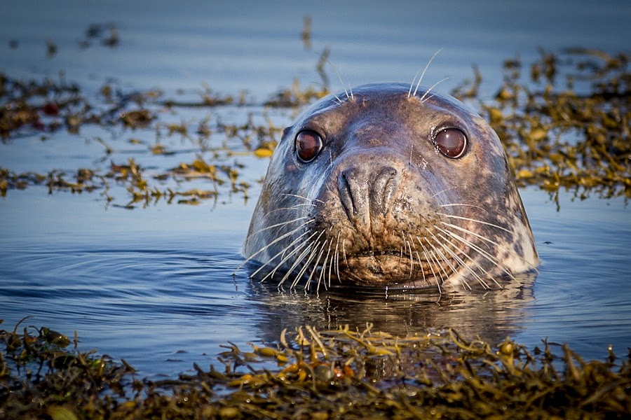 Strangford Seal by Terry Hanna - Animals Sea Creatures ( eyes. seaweed, seal, n ireland, sea, head, co down, close-up, strangford lough )