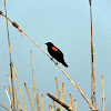 Red Wing Black Bird.