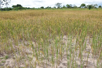 Photo: Traditional rice field suffering from dry spells, depleted soils and dense planting in Mlimba Village, Mlimba, Morogoro, TZ  [Photo by Erika Styger, 2012].