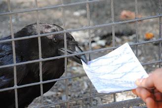 Photo: Любопытный ворон попытался украсть нашу карту
