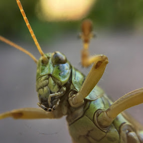 Grasshopper  by Jillynn Markle - Animals Insects & Spiders ( macro, animals, nature, insect, grasshopper )