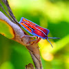 Lychee Stink Bug (Nymph)
