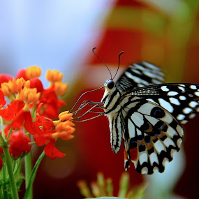 Butterfly  by Ian Cormack - Animals Insects & Spiders ( butterfly )