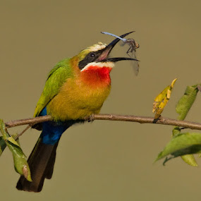 Bee eater and dragonfly by Francois Retief - Animals Birds