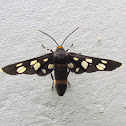 Amata Wasp ( White-spotted Moth)