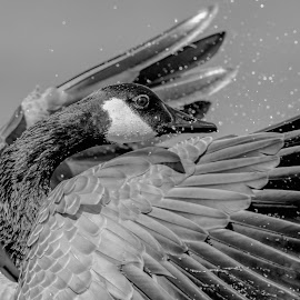 Canada Goose in black and white by Debbie Quick - Black & White Animals ( canada goose, newburgh, debbie quick, nature, goose, nature up close, natures best shots, water, new york, debs creative images, national geographic, wildlife photography, animal photography, wings, downing park, animal, wing flapping, hudson valley, wild, nature photography, wildlife,  )