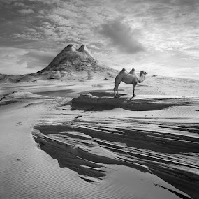 Camels by Dariusz Klimczak - Landscapes Mountains & Hills ( hill, dunes, camel, desert, pattern, shadow, texture, white, square, klimas, black, kwadrart )