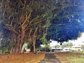 Photo: A massive Banyan tree near Hilo
