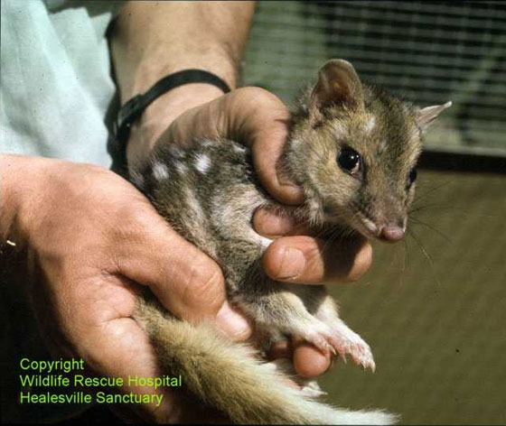 Manual restraint of an eastern quoll.