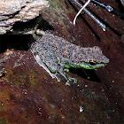 Black Spotted Rock Frog