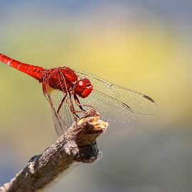 by Гојко Галић - Animals Insects & Spiders ( dragonfly, sky, red, dramatic, meadow )