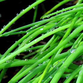 Dewy Chives by Becky Luschei - Nature Up Close Other plants ( gardens, chives, cooking, dewy, herbs )