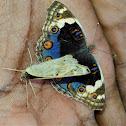 Blue Pansy Butterflies