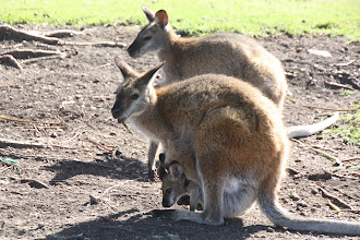 Photo: Year 2 Day 168 -  Another Mum and Joey