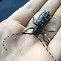 Long horn beetle