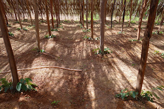 Photo: Young vines planted from cuttings