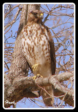 """Photo: A to Z  2011-10-12  Week 8 - Day 53  Wednesday's """"H""""  Hawk at Wyboo"""