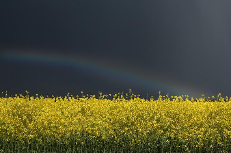Campo di colza,,,dopo il temporale di Fotodiale