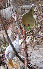 Photo: Common Milkweed pods, 11.26