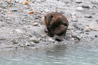 Photo: Beaver scratching itself near Mendenhall glacier