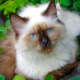 by Ronald Wahyudi - Animals - Cats Portraits