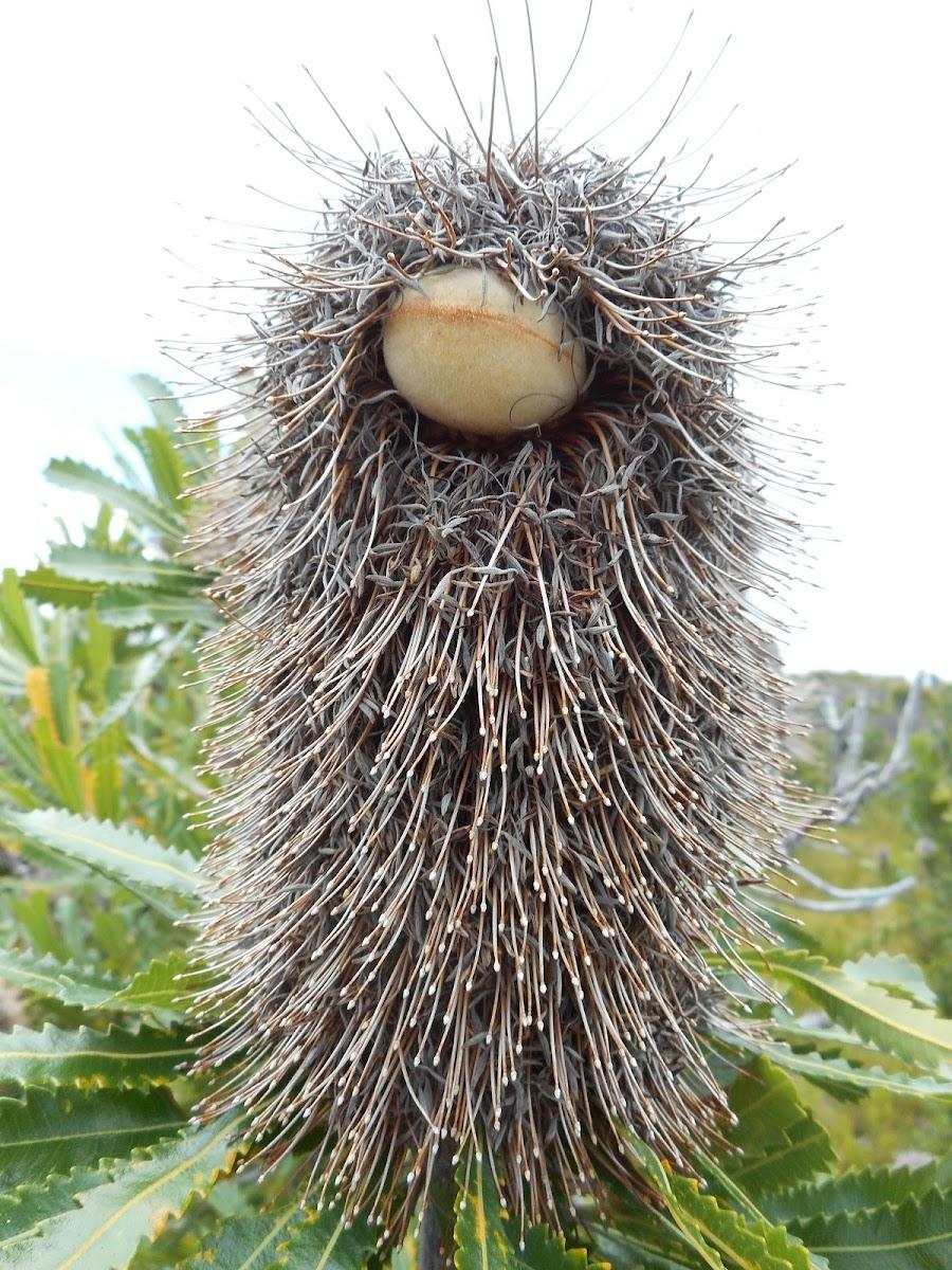 Wallum Banksia