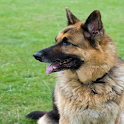 German Shepherd Wallpapers icon