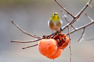 Photo: 撮影者:村山和夫 メジロ タイトル:柿を食べるメジロ 観察年月日:2014年12月20日 羽数:5羽 場所:片倉の集いの森公園/調整池付近 区分:行動 メッシュ:八王子6G コメント:柿の実と言えばメジロです。毎日必ずやって来ます。好きなだけ食べて満足したのか写真のポーズで数分間放心状態でした。