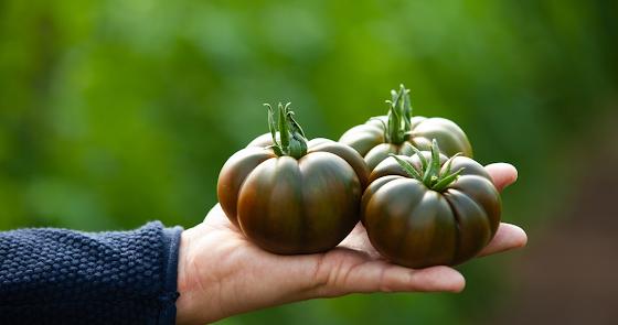 Grupo Agroponiente apuesta por el sabor con su nuevo tomate:  'Marejada'