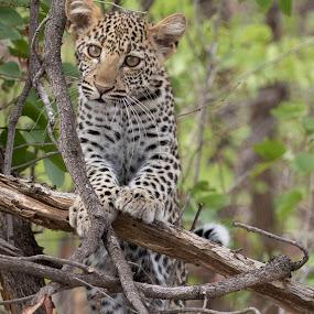 Beautiful Leopard Cub by Sheila Grobbelaar - Animals Lions, Tigers & Big Cats ( cats, big cats, kruger national park, safari, wildlife, big 5, africa, leopard )