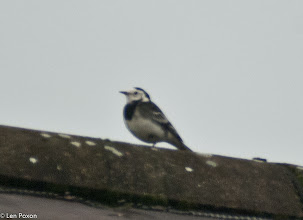 Photo: Pied Wagtail Lower Healey 30.10.11