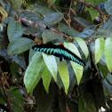 Rajah Brooke's Birdwing