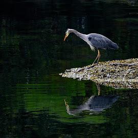 Heron Reflections by Campbell McCubbin - Animals Birds ( blue heron, reflection, feathers, fishing, bird, seaweed, heron )