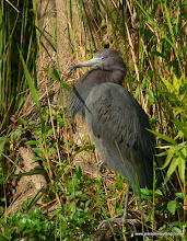 Photo: Little Blue Heron, somewhere in Soith Florida