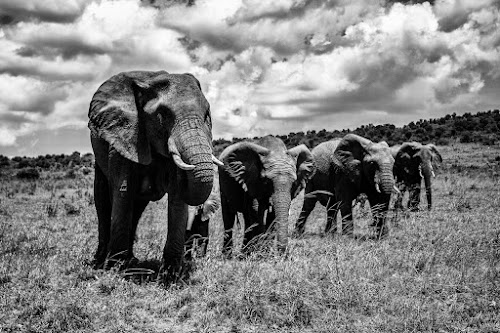 The Family by Ebtesam Elias - Animals Other ( black and white, masai mara, kenya, wildlife, travel photography )