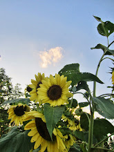 Photo: Yellow sunflowers at sunset at Cox Arboretum and Gardens of Five River Metroparks in Dayton, Ohio.