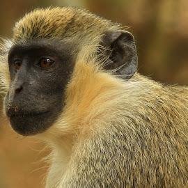 by Sean Ross - Animals Other Mammals ( monkey, safari, vacation, senegal )