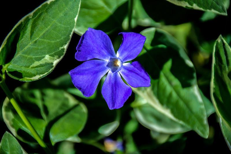 Pervinca: il fiore dell'amore e della morte di Maria Luisa