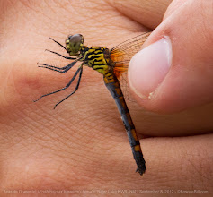 Photo: And now for something slightly different... a Seaside Dragonlet dragonfly in the hand of Jerry Hatfield, a guide at this year's Bitter Lake NWR Dragonfly Festival. It was cool and overcast that Sunday, but these colorful bugs were active, though not many others. I got several photos of both the male and two varieties of the female up on my website, but thought this was cool, especially as it shows the size.  Why a Seaside Dragonlet in New Mexico? Glad you asked. This is the only American dragonfly species that can breed in salt water, which is why it is found in coastal marshes. If one looks in their guide book for the species' range, you will see a narrow, shallow-arc of range in southeastern NM corresponding to the watershed of the Pecos River though a zone of high soil alkalinity. The cut-off oxbows of the Pecos and the sink holes in the area of Bottomless Lakes and the Bitter Lake NWR are saline waters where these cool odonates can be found (having wandered here in the far, far distant past.)  +BugsEveryday #odonata