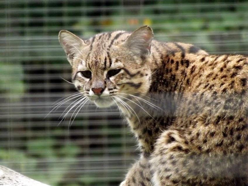Noir Panthera chatte pics