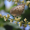 Grey Pancy Butterfly