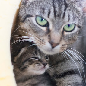 Mother and Child by Jill Zwick - Animals - Cats Portraits ( pet photography, kitten, pet, cat portrait, kittens )