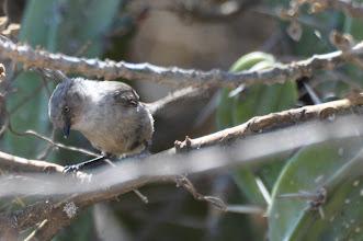 Photo: Bushtit, Psaltriparus minimus personatus (Buschschwanzmeise), female; Bernal, QRO