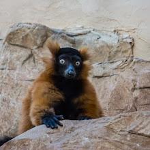 Photo: Red Fronted Lemur. (c) Christa Laser 2014