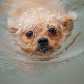by Kesuma Wijaya - Animals - Dogs Playing ( water, swim, play, dog )