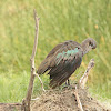Hadada or hadeda ibis