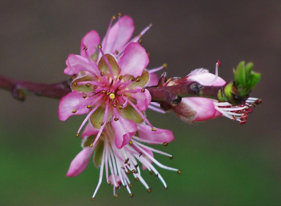 Blossoms by Sarah Harding - Novices Only Flowers & Plants ( plant, nature, novices only, garden, flower,  )