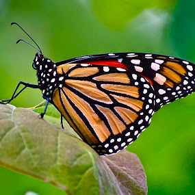 Monarch Butterfly by Doug Wean - Animals Insects & Spiders ( close up, color, nature photo, nature, butterfly, wings, insect, nature up close, monarch butterfly, leaf,  )